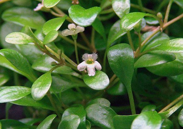 trân châu nhật trên cạn cho hoa