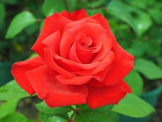 Plantas Mágicas: Rosa