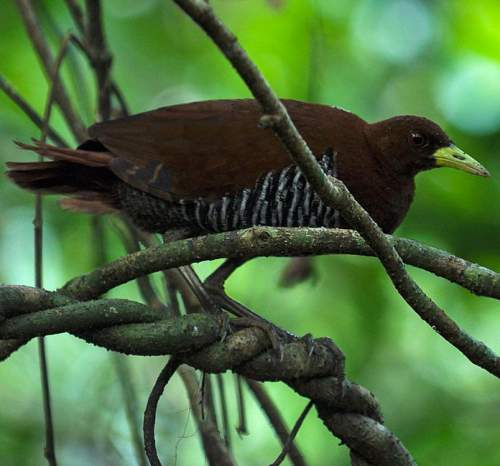 Indian birds - Andaman crake - Rallina canningi