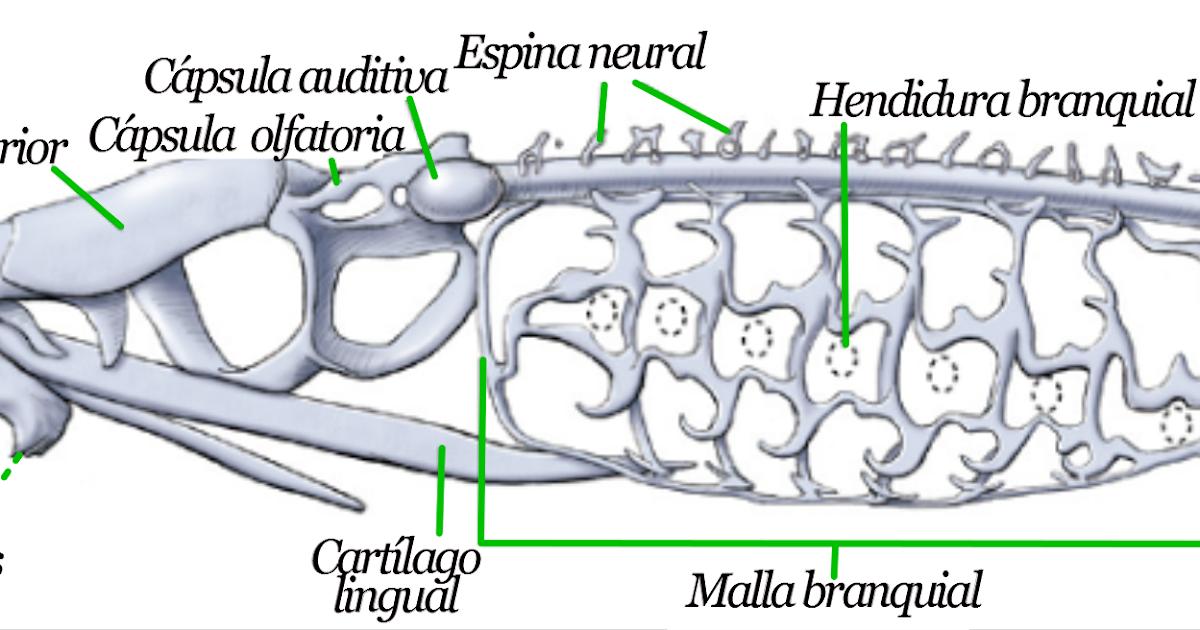 Magnífico Anatomía De La Lamprea Imagen - Anatomía de Las ...