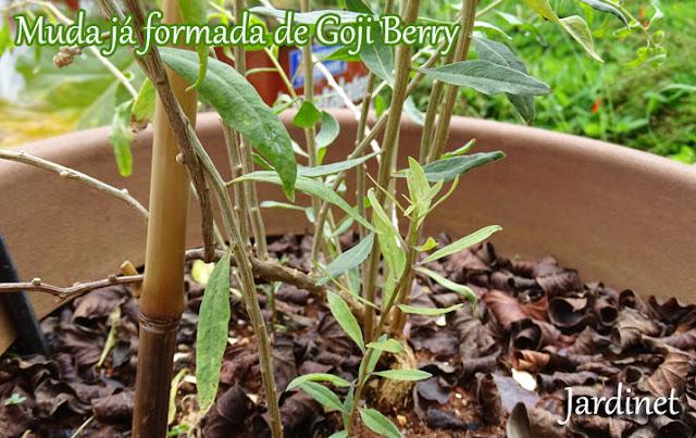 Mudas de Goji Berry com mais de dois anos de cultivo