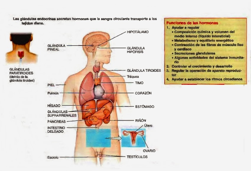 Bonito Glándula Timo Elaboración - Imágenes de Anatomía Humana ...