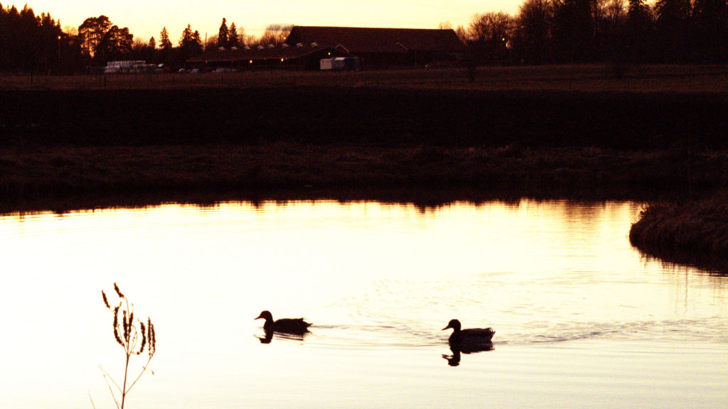 Two ducks sailing on the pond at dusk, Stockholm, photo by Susan Wellington