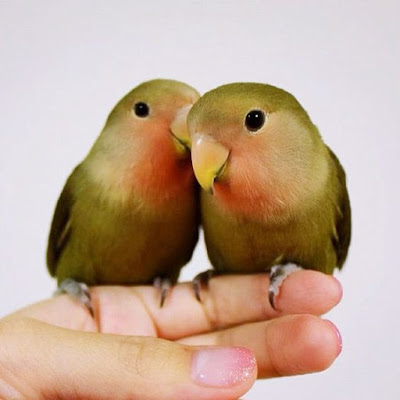 Lovebird behaviour
