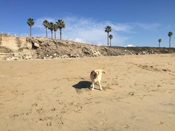 Happy Labrador Huntington Dog Beach