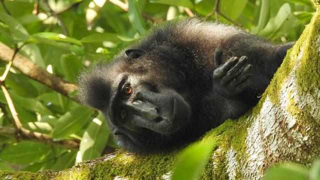 Llega a su fin la epopeya por el 'selfie' del macaco que dejó en la ruina a un fotógrafo