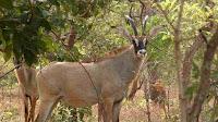 roan antelope images