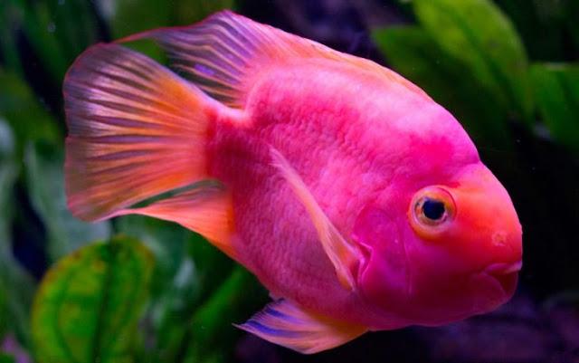 Anticonceptivos desechados convierten peces en transgénero