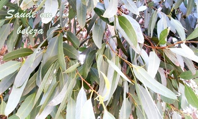 Benefícios do eucalipto
