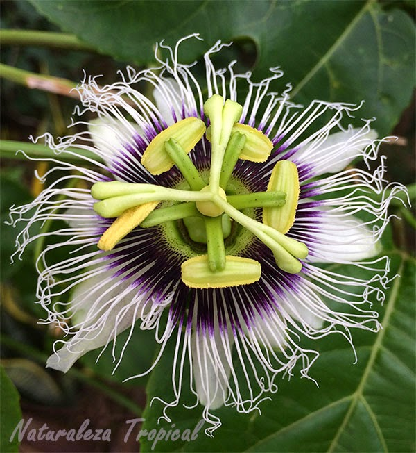 Flor de la Maracuyá, Passiflora edulis