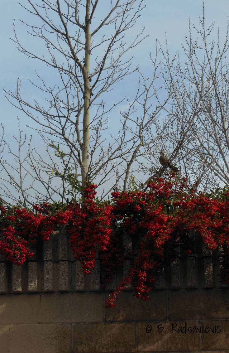 Bird on Tree Branch above Red Berries Groiwing on Fence