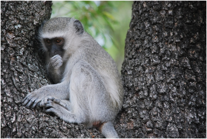 monkey, south africa, travel, kruger national park