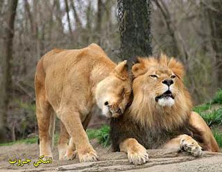 زواج الأسد Marriage Lion