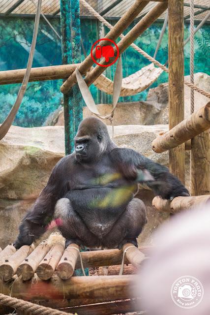 Silverback gorilla, zoo Beauval © Clement Racineux / Tonton Photo