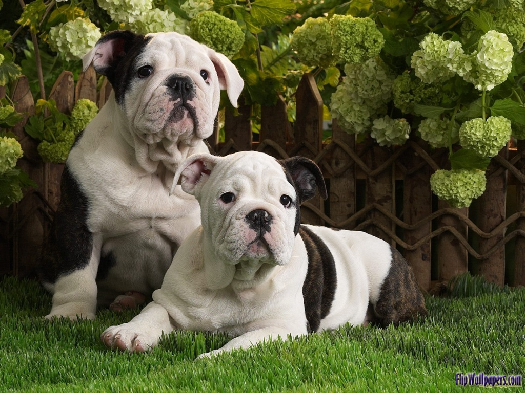 pictures: top ten picture of dogs, cute pugdogs, bull dogs ...