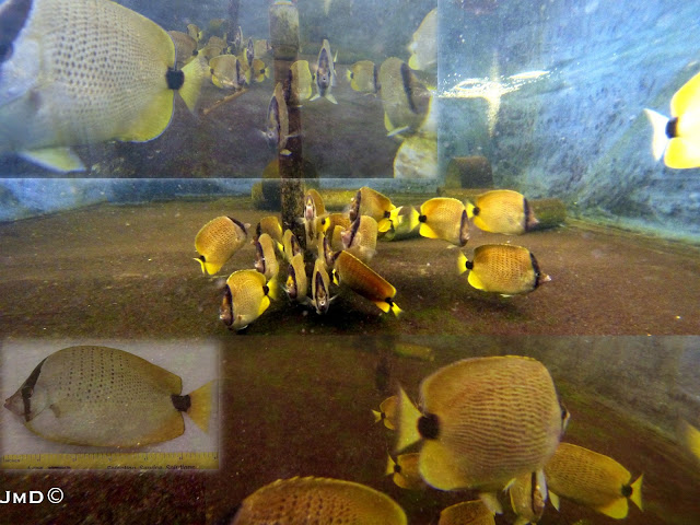 Milletseed Butterflyfish Breeding Project at Rising Tide - image courtesy JMD / Rising Tide
