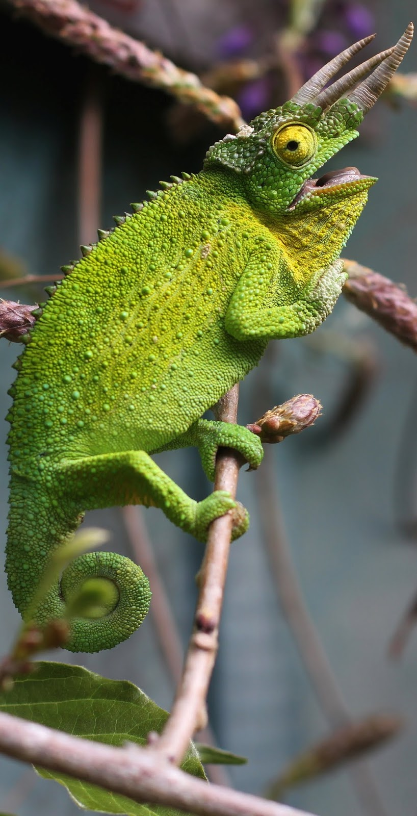 A three horned chameleon.