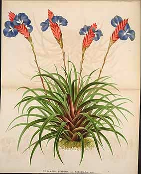 Tillandsia - botanical illustration