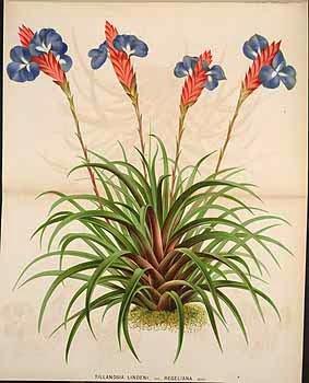 Tillandsia - botanical illustration