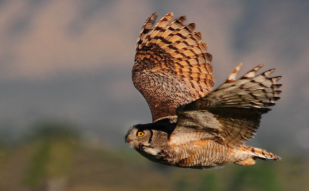 Wyoming Photos Great Horned Owl In Flight