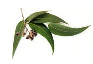 Eucalyptus Oil a Home Remedies to stay away from lice