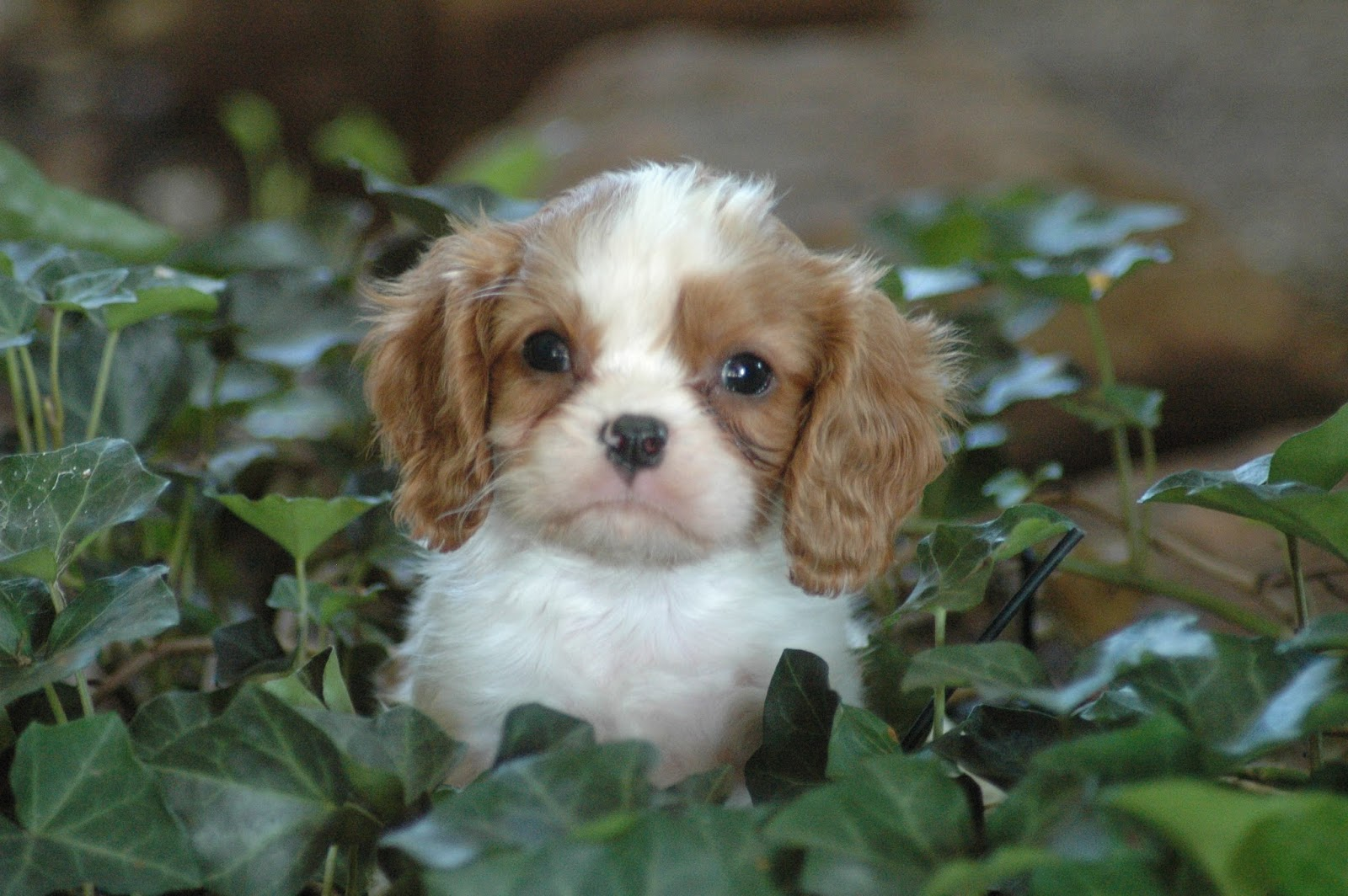 Cavaliers in Houston - Texas Cavalier Puppies: Puppies ...