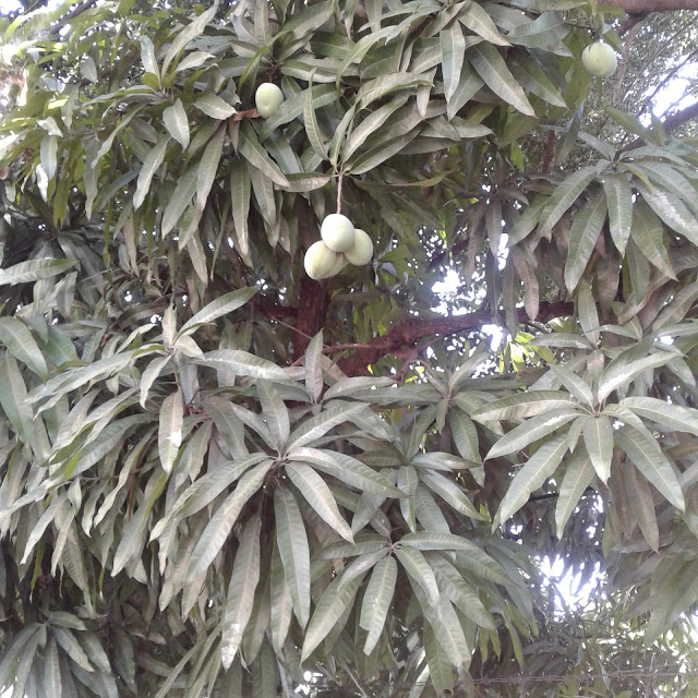 Mango dominicano
