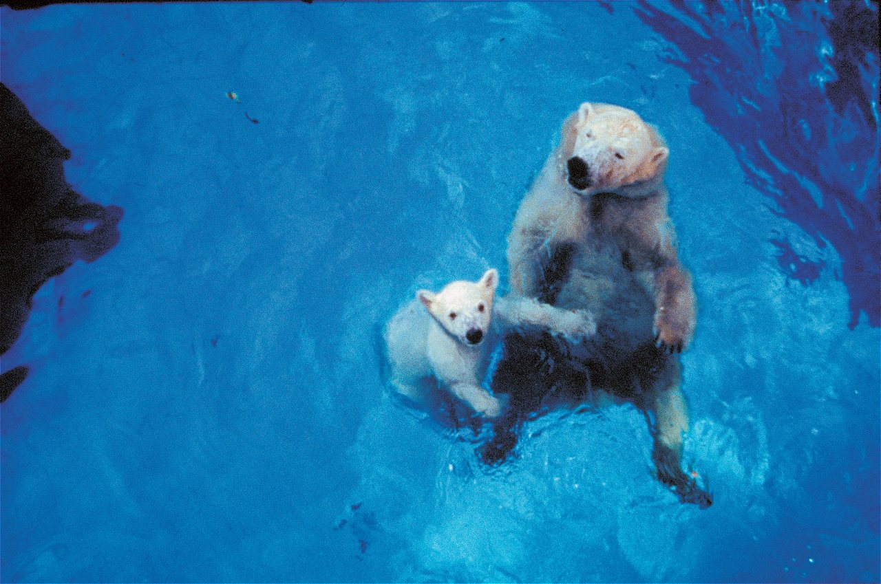 Will be lovingly remembered for being the first polar bear to be born in the tropics.