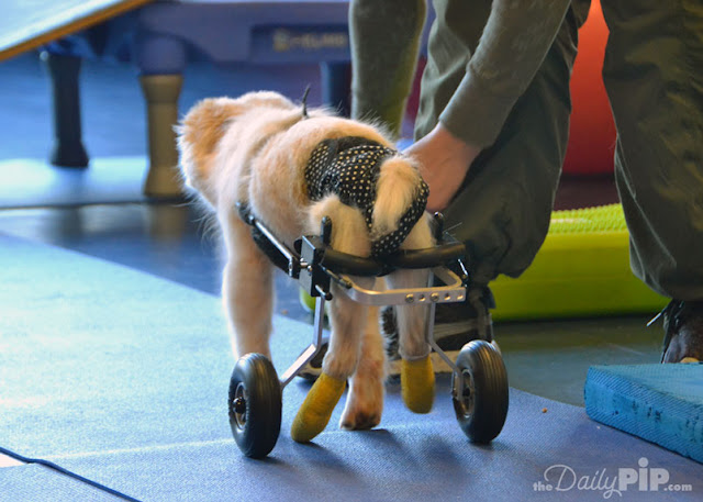 Dogs with Spina Bifida are paralyzed for life but can lead a wonderful life with supportive care, therapy, and a cart