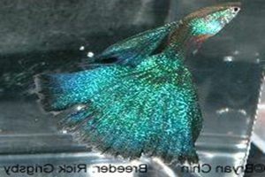 Blue Flash MBAG (Moscow Blau Additional Gene)