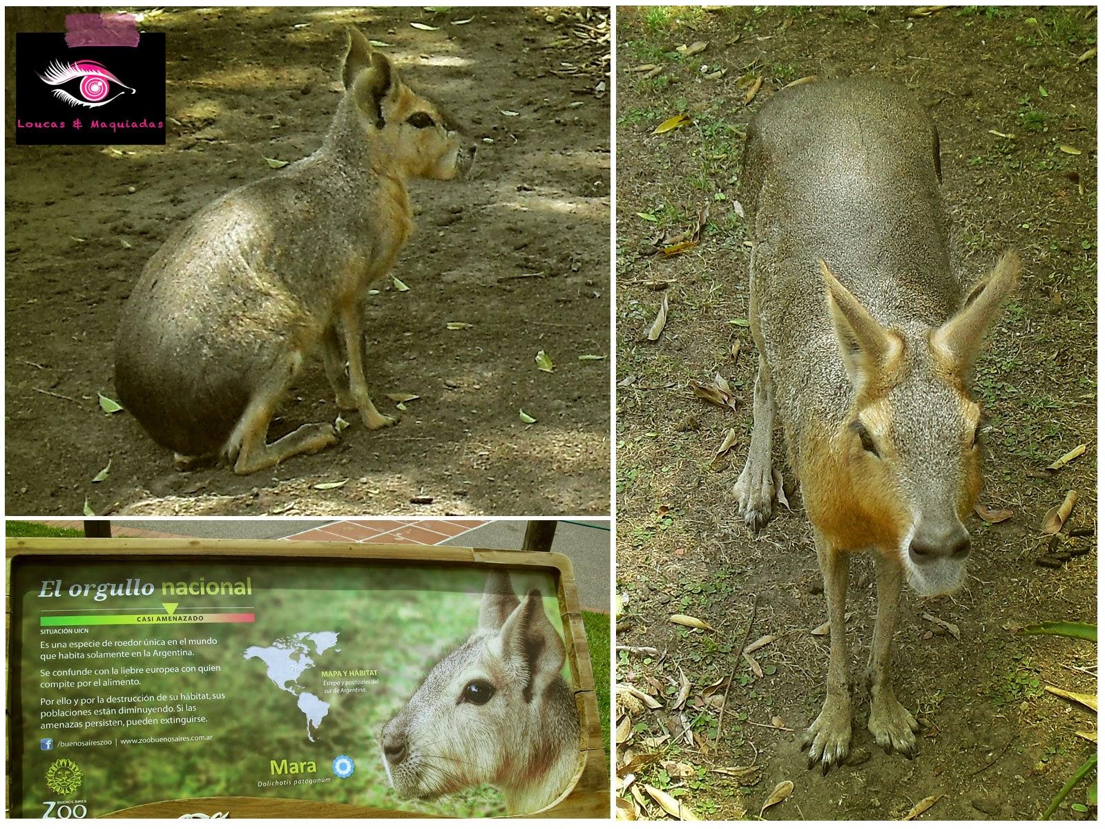 ... corre risco de extinção. Nós achamos esse bichinho tão engraçadinho...  Parece um coelho, ao mesmo tempo que se posiciona como um canguru, ... fbf67e6628
