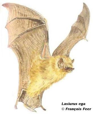 Southern yellow Bat