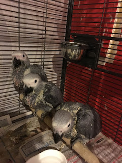 Baby African Grey Parrots
