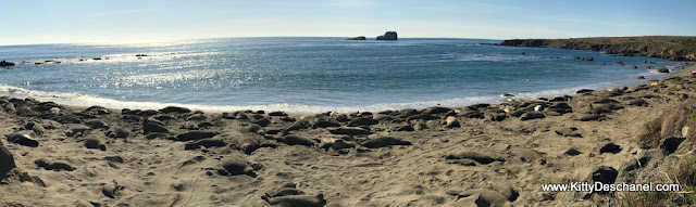 best place to see elephant seals in ca