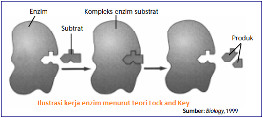 Gambar cara kerja enzim hipotesis Lock and Key