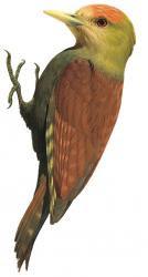 Gecinulus grantia