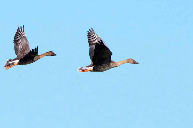 birds, Bean Geese, pair, flight