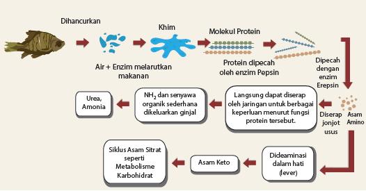 MAKALAH Pemyerapan Karbohidrat di Dalam Tubuh