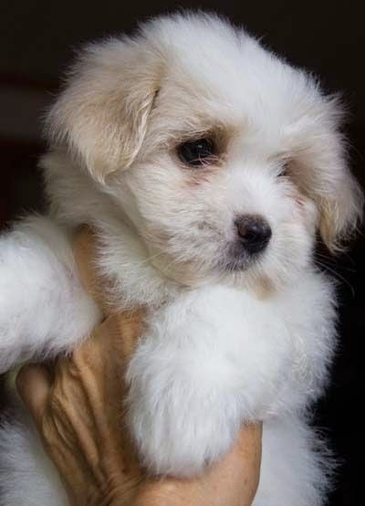 Another Coton de Tulear puppy...I love them and shall have one someday soon