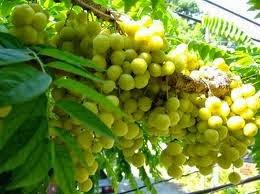 namun ternyata buah cermai bermanfaat untuk mengobati penyakit secara alami 2 Manfaat Buah Cermai untuk Kesehatan