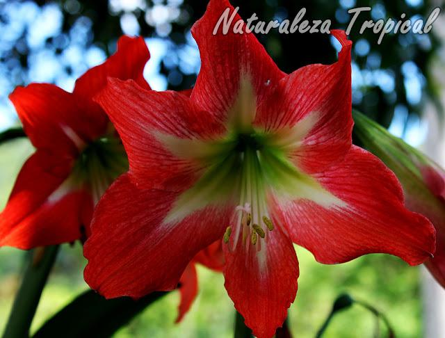 Flor de una especie del género Hemerocallis. Lirio rojo