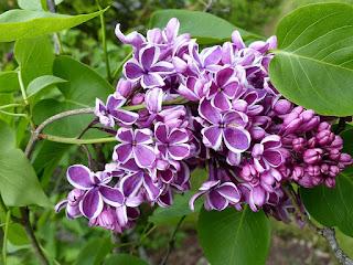 Lilas commun - Syringa vulgaris - Lilas français