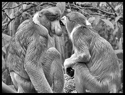 Proboscis monkey, bekantan,long-nosed monkey