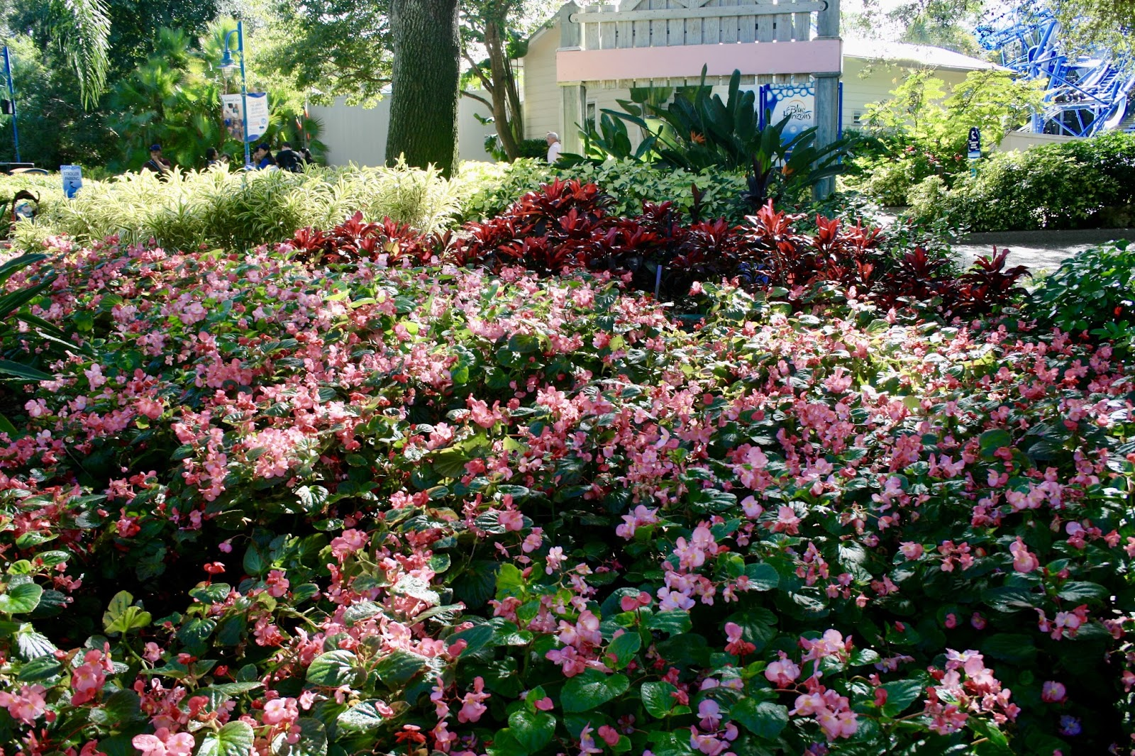 Year round plants for flower beds - Begonias Are Treated As Annuals In My Zone But In Florida They Produce Beautiful Flowers Year Round What A Gorgeous Bed Of Begonias