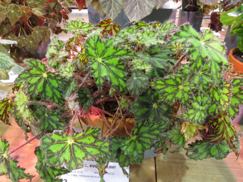 Philadelphia Flower Show 2020 - Begonia Persian Brocade