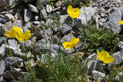 Papaver aurantiacum – Rhaetian Poppy (Papavero delle Alpi Retiche).