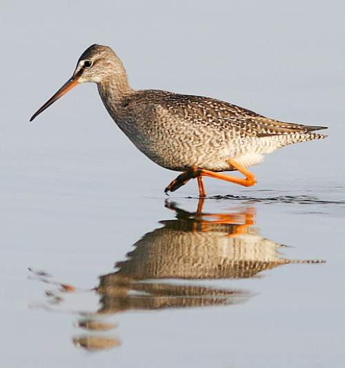 Indian birds - Image of Spotted redshank - Tringa erythropus