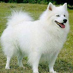 American Eskimo Dogs Breeds Photos And Videos List Of