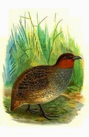 Long billed Partridge