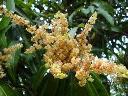 gambar benag sari mangga buah